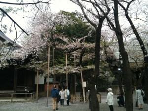 靖国神社 桜の標準木 2013-04-01 023