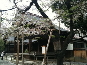 桜の標準木 2013-04-01 033
