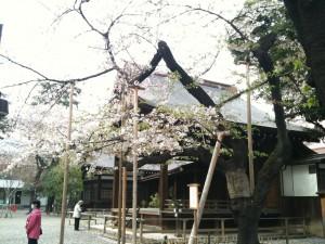 靖国神社、桜の標準木 2013-04-01 039