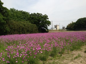 こうのす花まつり、ムギナデシコ (2014/5/20)