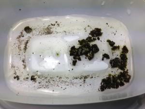 クマムシのコケに水を浸す (2014/6/7)