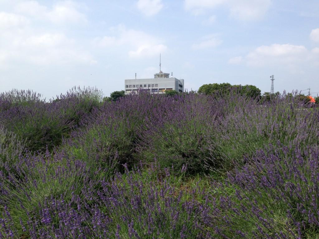 菖蒲総合支所、ラベンダー、2014/6/26