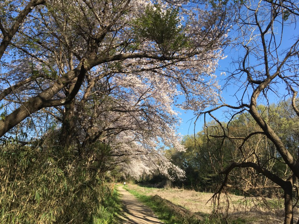 桜、北本自然観察公園内